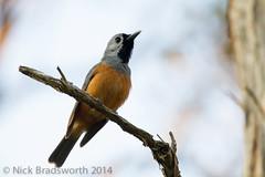 Black-faced Monarch (ʘwl) Tags: bird nature canon eos is wildlife australia victoria monarch 7d vic usm 500mm f4 mallacoota blackfacedmonarch