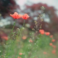 urawa104nc-film66 (yaplan) Tags: flower green film japan hasselblad memory  planar 66