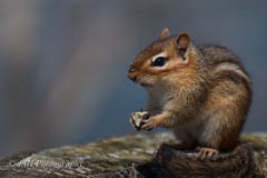 Look Up! (jah32) Tags: animal animals forest spring nikon lookup chipmunk forestfloor rodents forests springtime chipmunks themoment springwaterconservationarea d7000