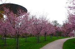 Roihuvuoren Kirsikkapuisto (/Naakka) Tags: park helsinki hanami roihuvuori rusokirsikka kirsikkapuisto