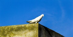20141207-DSC_0897-2_filtered (somesh0077) Tags: blue sky white building bird fly pigeon dove bluesky domestic whitepigeon whitedove citybird domesticbird pigeonfly
