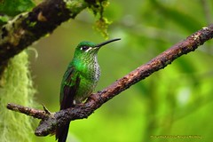 green-crowned brilliant, Heliodoxa jacula, Reserva Arrierito, Chestnut capped Piha Reserve, Bogota Birding (OSWALDO CORTES -Bogota Birding and Birdwatching Co) Tags: fauna colombia sib biodiversidad greencrownedbrilliant heliodoxajacula chestnutcappedpihareserve bogotabirding reservaarrierito