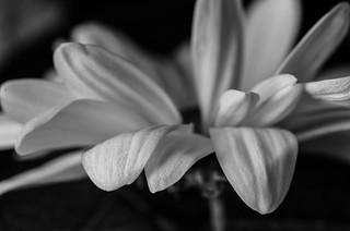 Macro B&W Flower Study #1