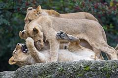 Fighting lions!
