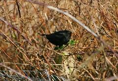 Clocked! (Graham  Sodhachin) Tags: bird nature sunshine wildlife blackbird ramsgate