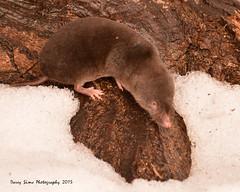 Northern Short-Tailed Shrew (djsime) Tags: statepark winter snow minnesota february shrew albertlea southernminnesota myrebigislandstatepark northernshorttailedshrew