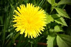 IMG_7905 (kween_beek) Tags: nature wisconsin outdoors weed dandelion wish wildflower wi