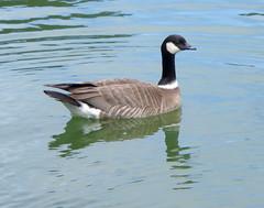 Aleutian Cackling Goose (rudeyard) Tags: anseriformes cacklinggoose brantahutchinsii cago aleutiancacklinggoose bhleucopareia