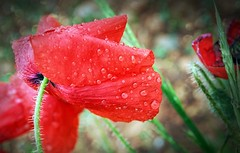 Never Look Back. (god_save_the_green) Tags: red macro green nature grass petals spring flora waterdrop bokeh poppy raindrops environment colourful coquelicot gouttes zoomup olympusepl1 may2016 mathildeaudiau
