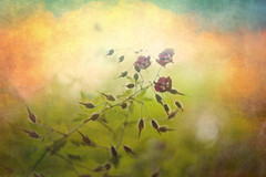 Ravelled (Ans van de Sluis) Tags: flower art nature floral botanical spring flora soft colours bokeh fineart botanic colourful hortus helios heumensoord helios442 bokehlicious ravelled ansvandesluis