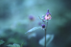 Water Avens in blue (aveyardphotography) Tags: flowers blue wild england orange plant flower nature water petals soft purple bokeh background subtle geum avens rivale