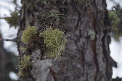 Lichen (Morze.Stefano) Tags: tree lichen licheni