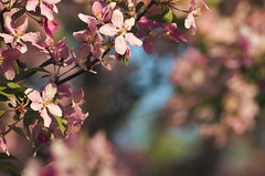 * (B. Rad) Tags: flowers plant flower tree nature spring pentax blossom outdoor k5 135mm