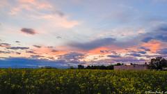 Tramonto 2/05/2016 (Paolo Gabriele Maiero) Tags: light sunset sky plants flower primavera nature clouds spring tramonto nuvole colours ngc natura cielo fiori piante colori hdr luce colza orizzontale