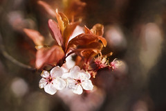 Cherry Delight (Sarah Fraser63) Tags: pink flower leave nature outside outdoors leaf spring flora blossom petal cherryblossom