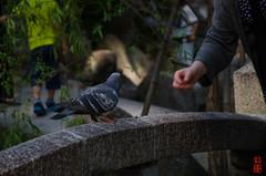 -  (snakecats) Tags: bird dove   shintoshrine hyogo       nishinomiyashrine