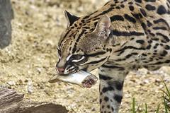 Inca with her treat (ucumari photography) Tags: animal inca female mammal zoo nc north may carolina ocelot 2016 newexhibit specanimal ucumariphotography dsc0593