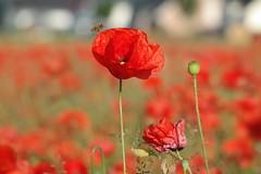 Biene im Anflug (uwe20) Tags: mohnblumen biene feld poppy bee frühjahr spring germany greaterphotographers greatestphotographers
