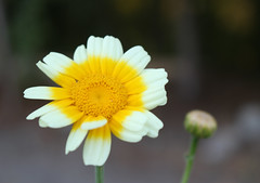Morning! (Carrie YL) Tags: morning sun flower canon garden explore daisy warmcolors yellowandwhite lovelyflower