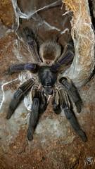 Monocentropus balfouri (Socotra Island Blue Baboon) (tisha.ph) Tags: blue island spider arachnid tarantula baboon invertebrates socotra monocentropus balfouri