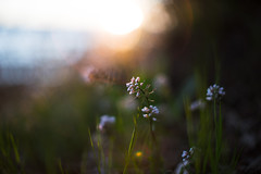 (DrowsyPotato) Tags: sunset flower macro field canon 50mm spring bokeh mark sony small ii 100 mm usm 12 500 tones depth combo fower 1250 50l mirrorless bokehlicious 12 bokehful a7rii a7r2 ilce7rm2