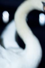 Swan (Yuta Ohashi LTX) Tags: abstract blur bird night swan nikon bokeh f14 voigtlander fixed 58mm nokton focal d90  primelens