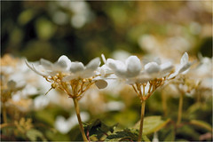 white flowers........... (atsjebosma) Tags: white macro garden bokeh ngc may thenetherlands npc mei tuin groningen wit bloem 2016 atsjebosma
