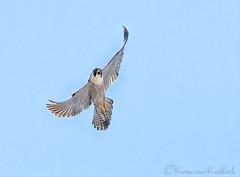 Peregrine Falcon (KvonK) Tags: wild bird nature inflight may falcon peregrine 2016 peregrinefalcon kvonk