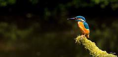 Eisvogel Mnnchen(Alcedo atthis)-Common Kingfisher,Male-Wildlife,Northern Germany-Bremen (Cristoforo Colombo) Tags: nikon sigma kingfisher wmme eisvogel