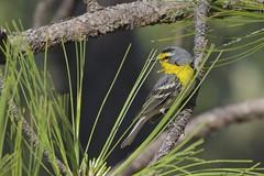 Grace's Warbler (Natures Joy Photography) Tags: arizona tucson warbler graces mountlemmon passeriformes parulidae woodwarblers rosecanyonlake graceswarbler setophagagraciae grwa