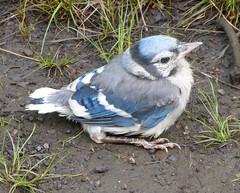 Blue Jay fledgling (tapaculo99) Tags: birds jay newhampshire aves bluejay corvid fledgling cyanocittacristata
