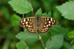 Speckled Wood ------ Pararge aegeria (creaturesnapper) Tags: europe butterflies lepidoptera greece speckledwood nymphalidae parargeaegeria kerkini
