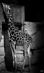P1570590-2 (goddam333) Tags: girafe