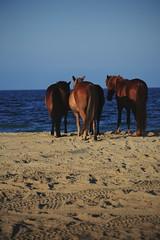 Family (nateblais) Tags: beach animals wildhorses