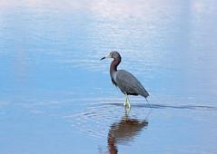 all by myself (Dianne M.) Tags: bird heron nature water outside bay florida birding reddishegret