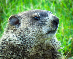 Wood ChuckIMG_4023 (bill.niven) Tags: woodchuck