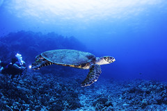 turtle with diver-1 (b.campbell65) Tags: kona animal beautiful big blue colorful coral coralheads dive diving hawaii island isolated marine natural nature ocean pacific reef scuba sea seascape swim travel tropical underwater water wild wildlife