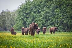Wisenten in Natuurpark Lelystad