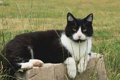 (nettisrb) Tags: cat kitten katten chat kitty gato felino katze gatti kot kedi felin  yata kotka katte hauskatze