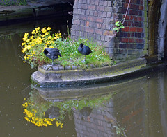 A quiet moment on the canal (robmcrorie) Tags: west bird canal coot midlands smethwick brimigham