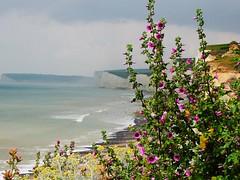 Beside the sea (sue_p32) Tags: sea summer plant outdoors coast seaside cliffs sevensisters eastsussex birlinggap week24 fullbloom lavateraarborea treemallow 52in2016