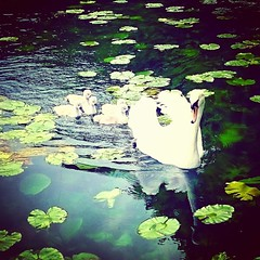Photo of Family ??  #swans #signets #family #waterbaby #animal #animales #animallovers #animals #cute #igers #instaanimals #instagood #love #nature #pet #pets #pets_of_instagram #petsagram #petstagram #photooftheday #picoftheday