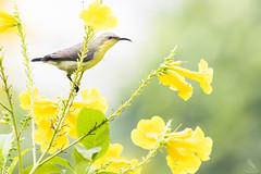 Purple Sunbird (Abhishek T) Tags: nature birds animals purple wildlife birding sunbird