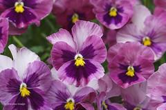 (Alpha 2008) Tags: park flowers summer plants macro nature japan hokkaido sony   alpha      odori
