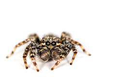Jumping Spider (Unintended_Keith) Tags: macro nature closeup insect wildlife windowsill jumpingspider canon70d tamron90mmf28dimacrovcusd