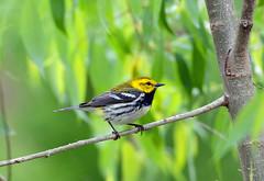 Black-throated Green Warbler (av8s) Tags: ohio nature birds photography nikon wildlife sigma blackthroatedgreenwarbler oh warbler songbirds perchingbirds mageemarsh d7100 120400mm