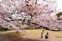 Cherry Blossom VI (Douguerreotype) Tags: park city pink people urban tree japan cherry tokyo blossom cherryblossom sakura