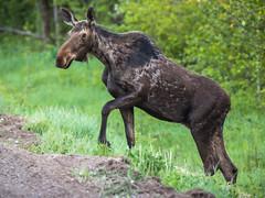 20160607-_MG_1582 (TofteTom) Tags: nature minnesota wildlife moose northshore northwoods wildlifephotography alcesalces minnesotamoose
