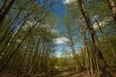 Tall Trees (Karen_Chappell) Tags: travel blue trees ontario canada tree green clouds landscape spring scenery path ottawa scenic wideangle trail canonefs1022mm stonyswamp