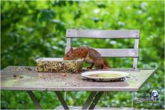 """Ecureuil du jardin """"2016"""" (Christian Labeaune) Tags: christianlabeaune chtillonnais cureuil jardin 2016 ecureuil faune poils chatillonsurseine21400 bourgognectedor france"""